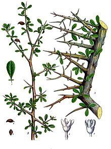 commiphora_myrrha_-_kohler-s_medizinal-pflanzen-019